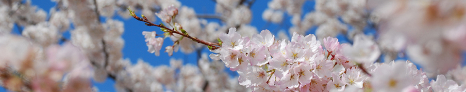 Cherry Blossoms10